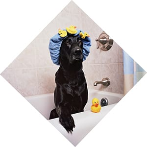 black lab with hair net dog baths