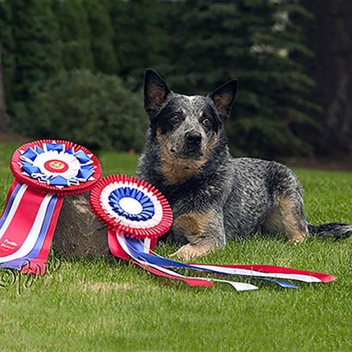 Willie - Dog Thyroid Cancer Testimonial