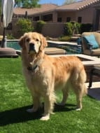 Golden Retriever - Northwest Naturals Testimonial