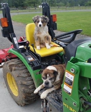 Bulldog and Australian Shepherd on tractor - Northwest Naturals Testimonials