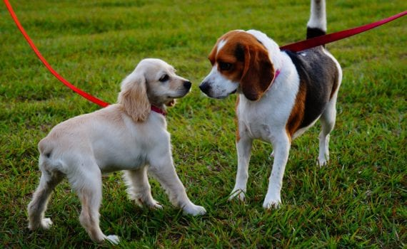 two dogs on leashes meeting - dog park etiquette