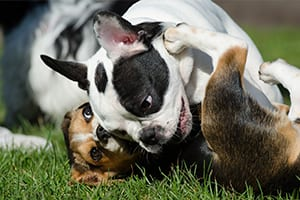 bulldog and beagle puppies wrestling - dog park etiquette