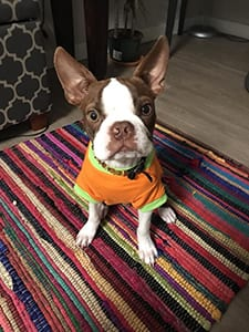 Biggie the Boston Terrier - Northwest Naturals Testimonial