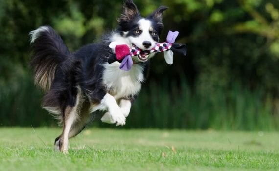 black and white border collie playing with toy on grass. - pet care