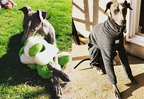 Jet the Italian Greyhound - Northwest Naturals Testimonial