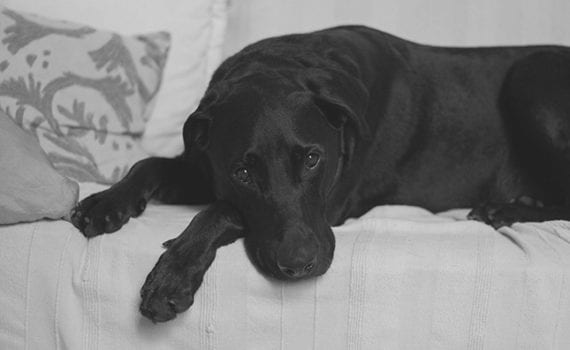 SAD dog on couch - black and white image
