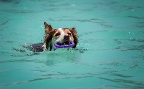 Dog swimming in a pool carrying a toy in the summer