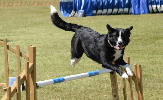 Athletic dog jumping over pole